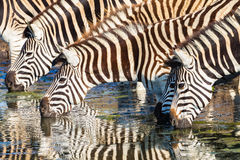 Zebras Four Drinking Mirror Colors Royalty Free Stock Image