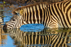 Zebra Drinking Mirror Reflections Stock Photo