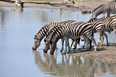 Zebra's drinking water Royalty Free Stock Images