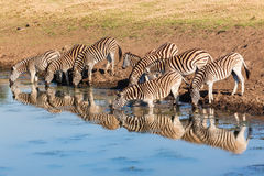 Zebra's Drinking Water Mirror Reflections Royalty Free Stock Photos
