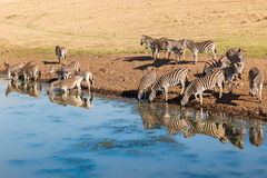 Zebras Wildlife Water Mirror Reflections Stock Photography
