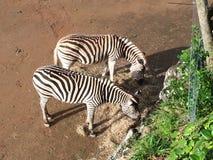 Zebra& x27;s eating hay stock photos