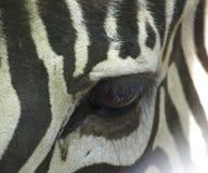 Zebra`s eye Royalty Free Stock Photo
