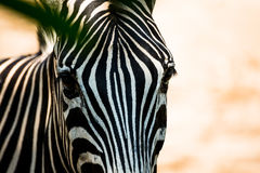 Zebra`s face. Close-up shot of native-african zebra`s face Royalty Free Stock Photography