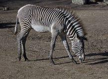 Zebra's foal 4 Stock Images