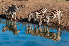 Zebras Four Water Mirror Reflections Stock Images