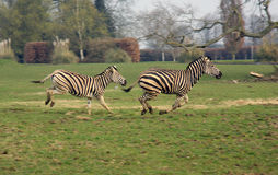 Zebra's Galloping. A pair of Chapman's Zebra Galloping Royalty Free Stock Photos