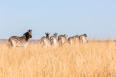 Zebra's Grasslands Wildlife Animals. Wildlife animals herd of Zebra's morning winter landscape wilderness park reserve Royalty Free Stock Image