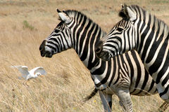 Zebra's grazing in a field stock photos