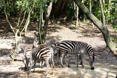 Zebra's Stock Photo