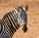 Zebra's head Royalty Free Stock Images