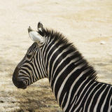 Zebra`s head in close up Royalty Free Stock Images