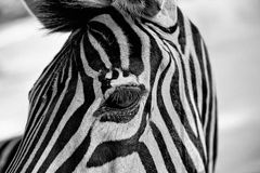 Zebra's head and eye Stock Photography