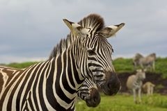 Zebra's head, Safari park in South Africa Stock Photography