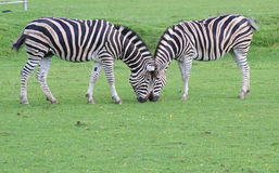 Zebra's head to head royalty free stock image