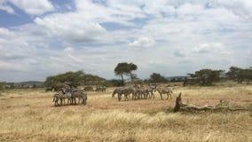 Zebra s het weiden op weide in Afrika Royalty-vrije Stock Fotografie