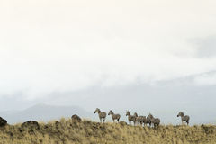 Zebra's on a hilltop Royalty Free Stock Photography