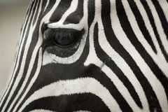 Zebra& x27; s-huvud Royaltyfri Fotografi