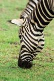 Zebra& x27; s-huvud Fotografering för Bildbyråer