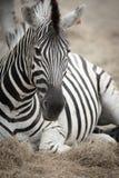 Zebra& x27; s-huvud royaltyfri bild