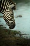 Zebra& x27; s-huvud Arkivbilder