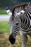 Zebra& x27; s-huvud royaltyfria bilder