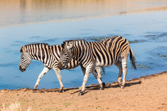 Zebra's Leaving Water Hole Stock Photo