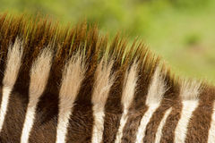 Zebra's mane Stock Photos