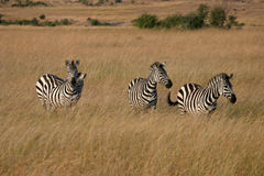 Zebra's in Masai mara Stock Images