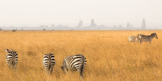 Zebra`s with Nairobi on background Stock Photography