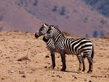 Zebra`s in the Ngorongoro crater Royalty Free Stock Image