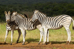 Zebra's playing Stock Photo