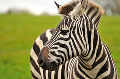 A zebra's portrait Royalty Free Stock Image