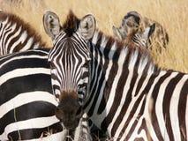 Zebra's portrait in the savannah of masai Mara royalty free stock photo