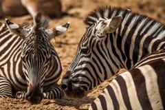 Zebras profile Stock Photography