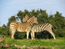Southern african animals. Zebra's relaxing in the morning sun Stock Photography