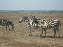 Zebra's Roaming. Nairobi's National Park, Kenya.  Zebra's Royalty Free Stock Photos