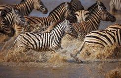 Zebra's running through water Stock Photos