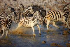 Zebra's running through water Royalty Free Stock Photography