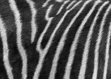 Zebra's stripes Royalty Free Stock Image
