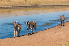 Zebras Three Water Hole Royalty Free Stock Photography