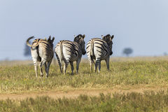Zebra's Three Wildlife Royalty Free Stock Photos