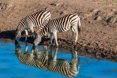 Zebra's Two Drinking Water Mirror Reflections Royalty Free Stock Images