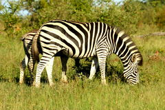 Zebra's. The Zebra's was in the Reserve. It was an afternoon Royalty Free Stock Photography