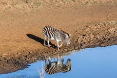 Zebra's Water Double Reflection Wildlife Animal Stock Image