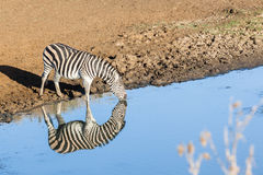 Zebra's Water Double Reflection Wildlife Animal Stock Images