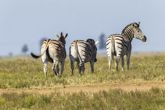Zebra's Wildlife Stock Photography