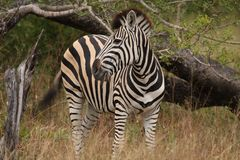 Zebra in Sabi Sand Reserve. South Africa Royalty Free Stock Photo