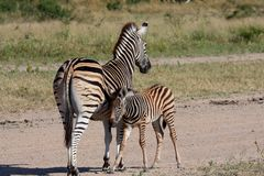 Zebra in Sabi Sand Reserve Stock Photography