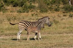 Zebra in Sabi Sand Reserve Stock Images
